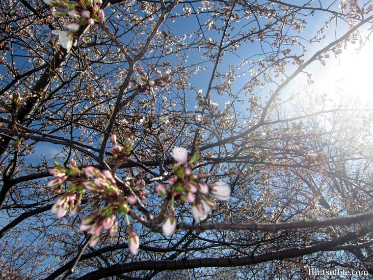 Cherry Blossoms at Riverside Park 1
