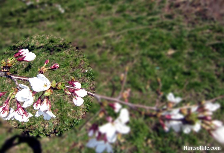 Cherry Blossoms at Riverside Park 4