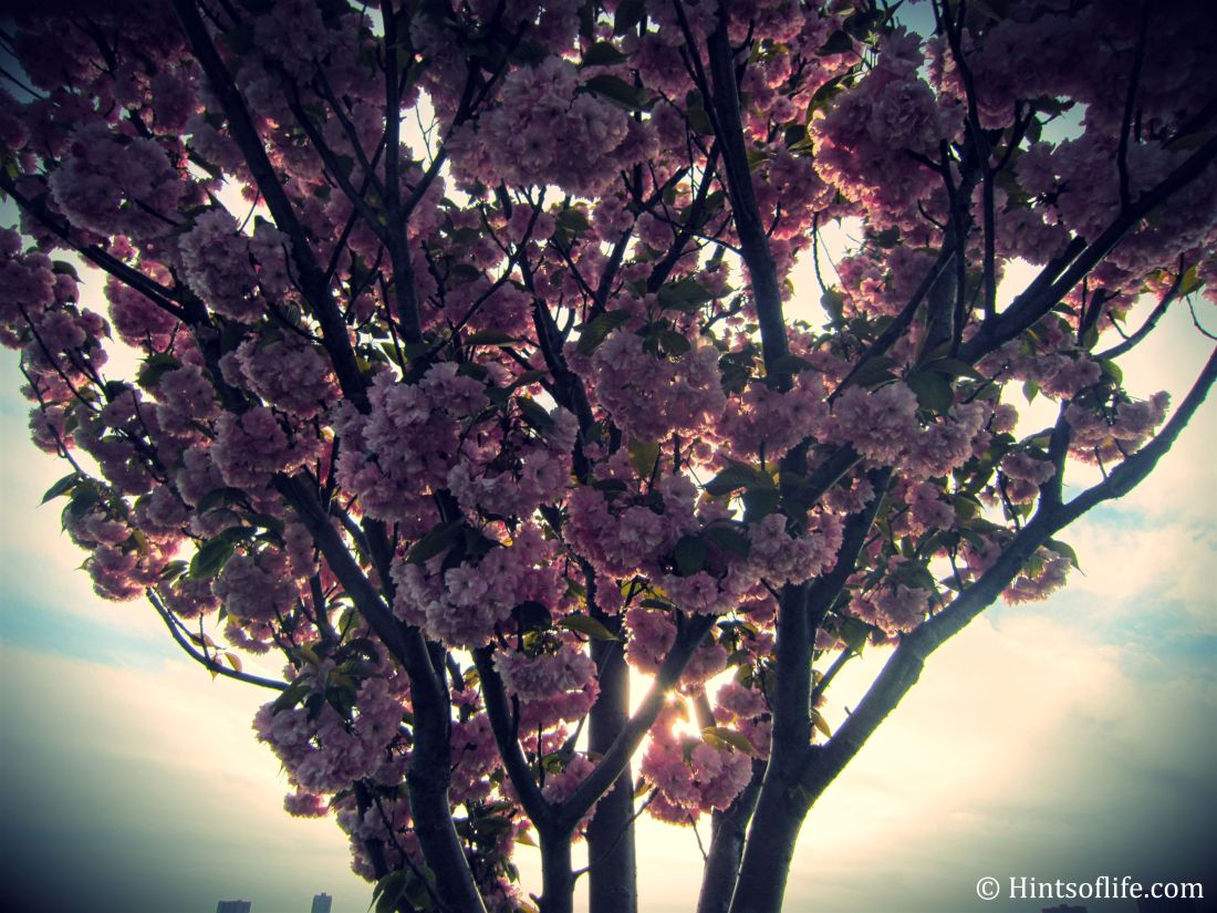 Closeup_Sunset_Cherryblossom