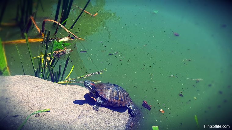 Red-eared turtle_1