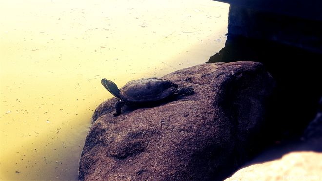 Red-eared turtle_2