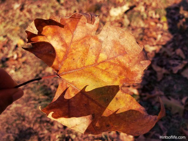 Fall colors_sugarmaple tree._._.leaf