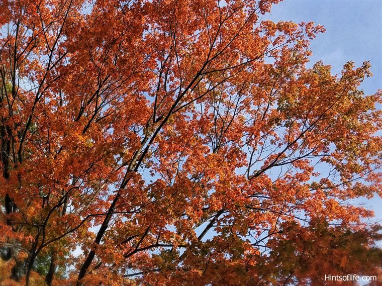 Fall colors_sugarmaple tree._._
