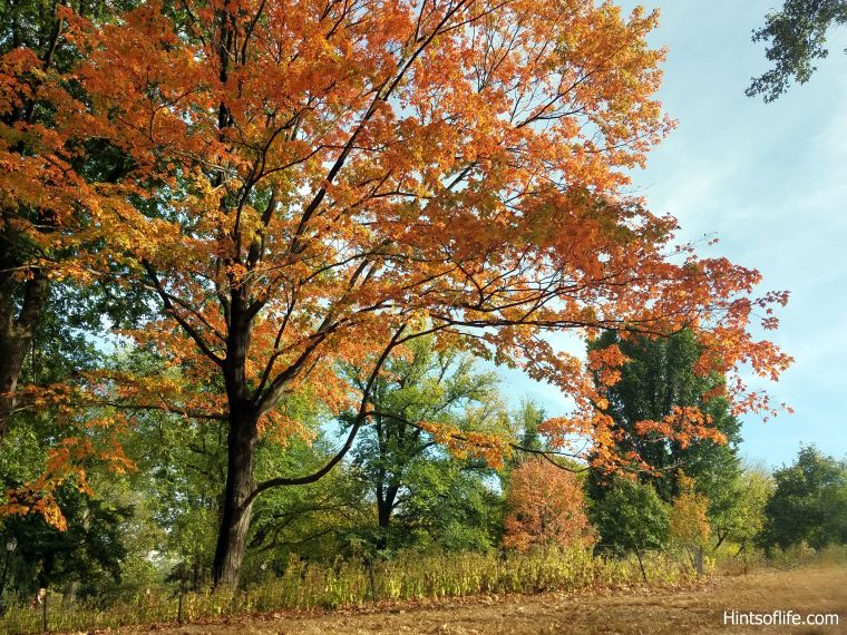 Fall colors_sugarmaple tree