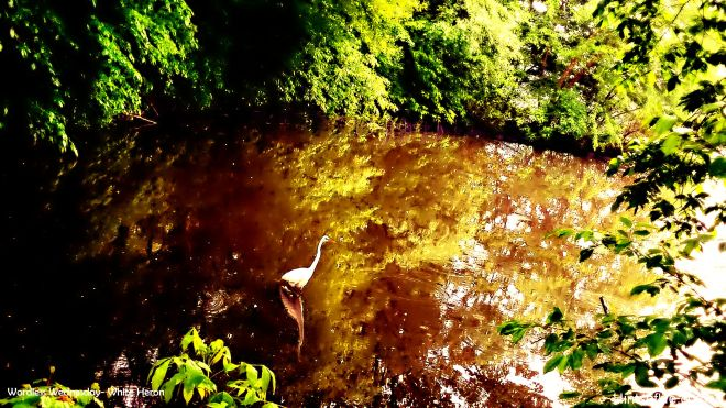 great white heron_The Lake_Central Park._.._