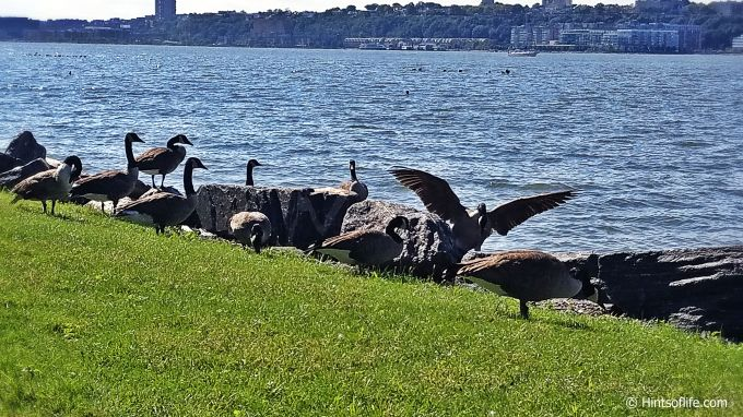 Canadian Geese_River Side Park_SunnyFallDay._