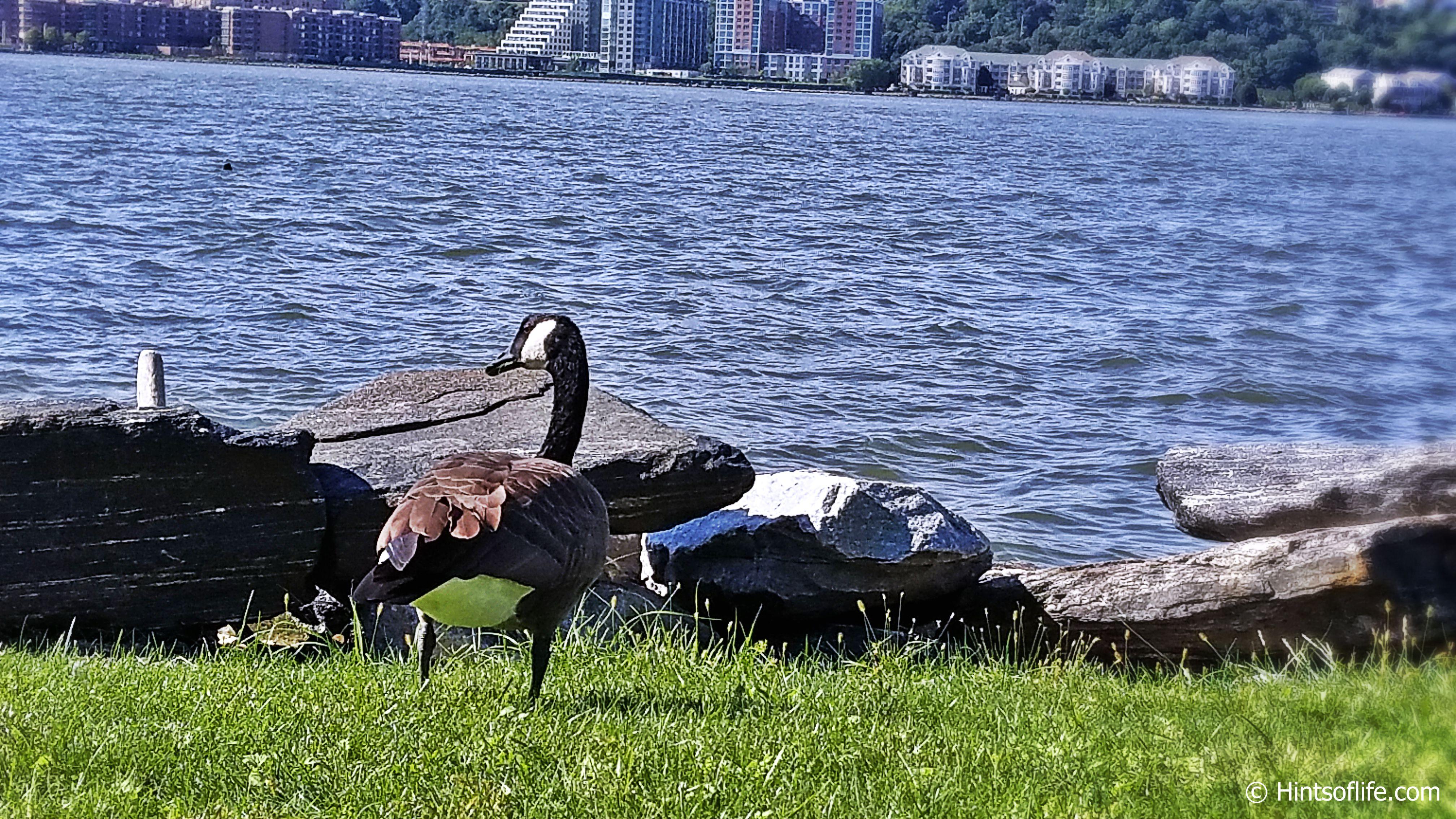 Canadian Geese_River Side Park_SunnyFallDay