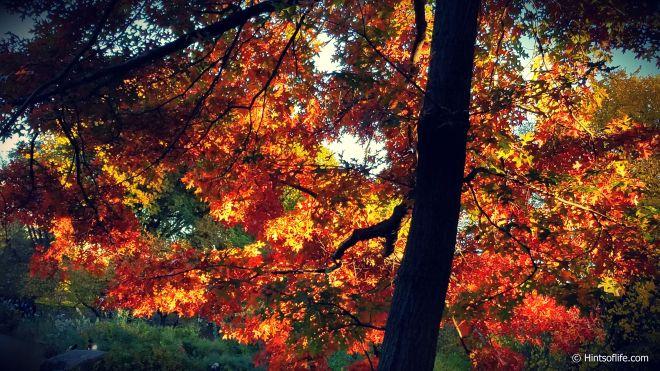 Fallcolors2018_Fall_CentralPark_NewYork_Red Maple