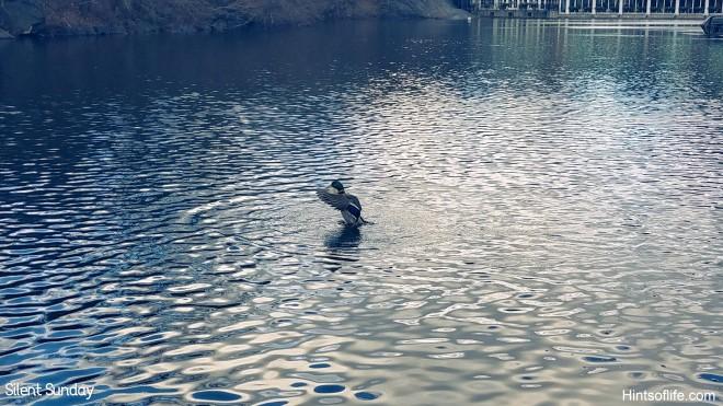mallard duck at central park