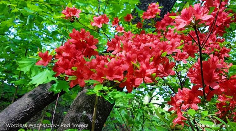 Redflowers_Conservatory Garden_CentralPark