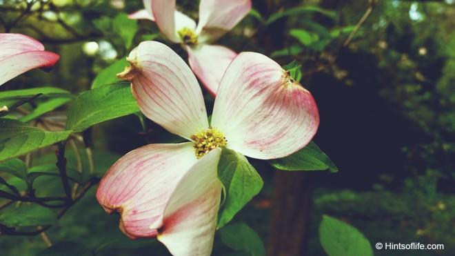 Saucer Magnolia_Magnolia_CentralPark