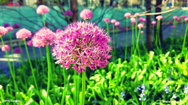 Purple Sensation Allium_Central Park